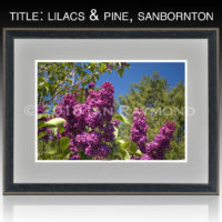 Lilacs and Pine, Sanbornton